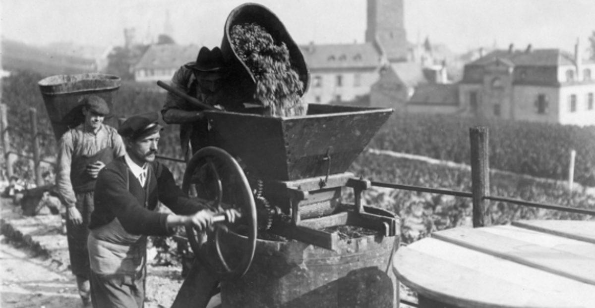 Weinlese am Wein ca. 1910